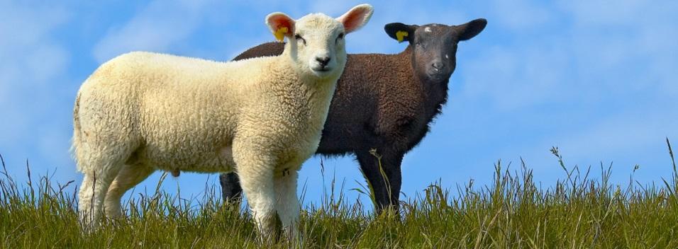 Der Sinn der schwarzen Schafe